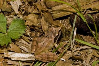 Springfrosch Rana dalmatina