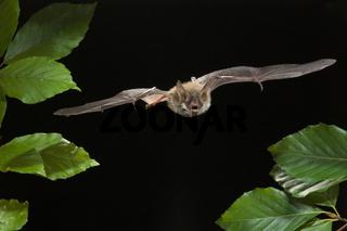 Bechstein-Fledermaus (Myotis bechsteinii), Bechstein's bat