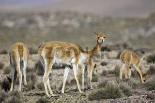 Vikunjas (Vicugna vicugna), Lauca Nationalpark, Chile, Suedamerika, Vicunas (Vicugna vicugna), national park Lauca, Chile, South America