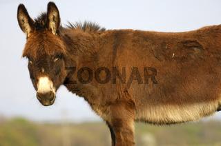Hausesel (Equus asinus asinus) mit aufgestellten Ohren / Prick-eared donkey