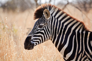 Steppenzebra, Pferdezebra (Equus quagga burchelli), Krueger Nationalpark, Suedafrika, Afrika, Plains Zebra, Common Zebra, Burchell's Zebra, Kruger National Park, South Africa