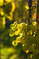 Helle reife Weintrauben hängen an einer Weinrebe, beleuchtet durch die Morgensonne