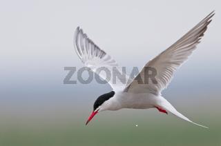 Flussseeschwalbe, Sterna hirundo, Common Tern