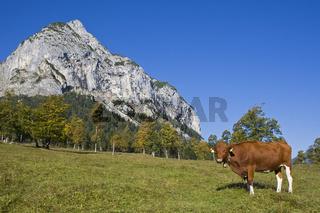 Kuh auf Alpen-Bergwiese mit Bergahornen, Ahornboden, Karwendel, Oesterreich, Tirol, cow with harewoods on alpine meadow, Tyrol, Austria