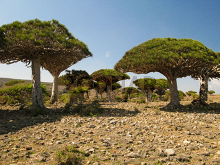 Dragon tree forest, endemic plant of Socotra island