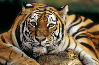 Sibirischer Tiger, Panthera tigris altaica, Armurtiger, siberian tiger, amur, portrait