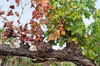 Colored grapes before becoming red in a vineyard