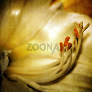 Amaryllis Makro mit einer zarten Textur