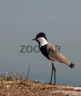 Spur-winged Plover in The Gambia