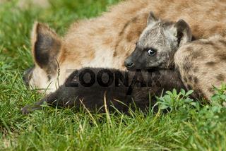 Junge Tuepfelhyaene, Crocuta crocuta, mit Elterntier