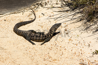 Goulds goanna at the beach, Cape le Grand National Park, Western Australia