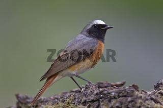Gartenrotschwanz - Maennchen, Phoenicurus phoenicurus, common redstart - male