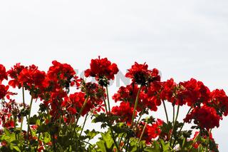 rote Pelargonien, red storksbills