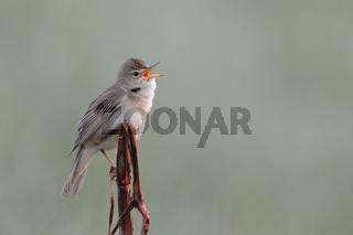 freigestellt... Sumpfrohrsänger *Acrocephalus palustris* singt sein Lied von der Spitze eines Halmes