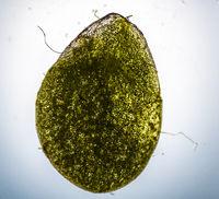 Grünes Wasserlinsen Blatt