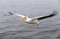 Rosapelikan fliegt überm Wasser