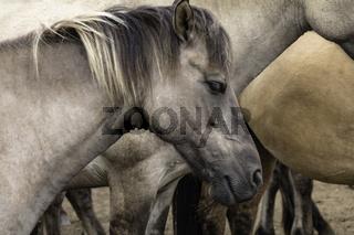 Friedlich dösen, wild lebende Pferde im Merfelder Bruch, Dülmen, Nordrhein-Westfalen, Juni,