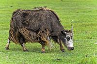 Yak auf der Weide, Mongolia