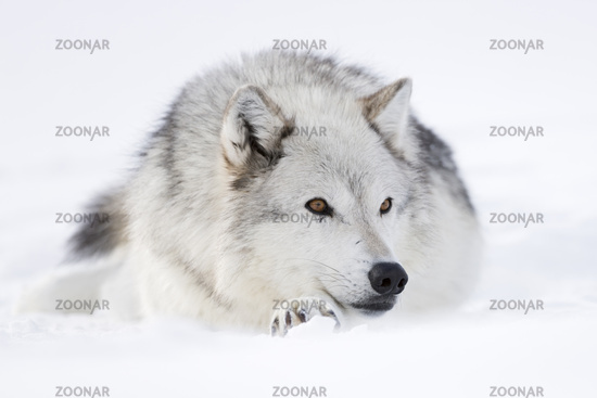 ruhend... Wolf *Canis lupus*