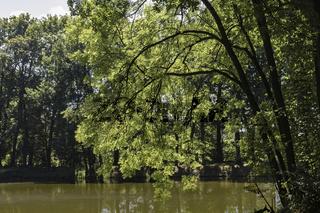 Esche (Fraxinus excelsior) am Teich