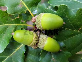 Traubeneiche, Quercus, petraea