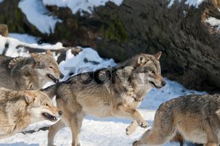 Europäischer Wolf ,Canis lupus, European grey wolf