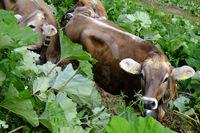 Rinder in schwierigem Gelaende