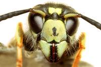 Portrait einer Wespe