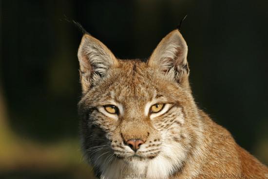 Europaeischer Luchs (Lynx lynx) im Nachmittagslicht, European Lynx in afternoon light
