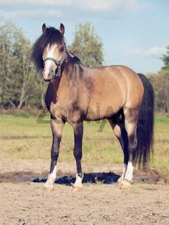 Beautiful buckskin stallion welsh pony