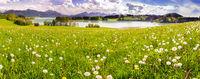 Frühlingswiese im Allgäu mit Forggensee