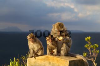 Javaneraffen (Macaca fascicularis)