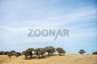 Korkeichen in einem Weizenfeld in Sardinien