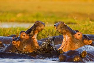 Flusspferde, Nilpferde oder Grossflusspferde beim Kaempfen, Chobe National Park, Botswana, Afrika, Hippos fighting in Chobe River, Africa