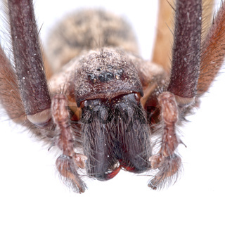 Detaiů of head of brown spider on a white background