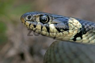 Ringelnatter, Natrix natrix, Grass snake, Ringed snake