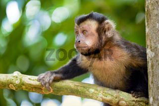 Black capuchin monkey