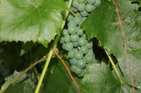Grapes with green leaves 20539