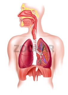 Human full respiratory system cross section.