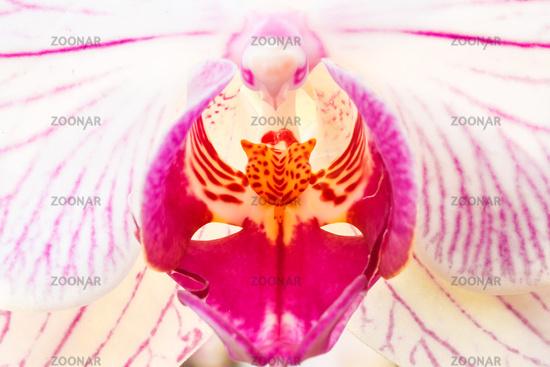 Macro of a Phalaenopsis orchid