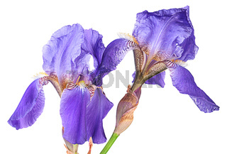 Closeup two iris flowers