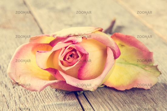 Beautiful wilted rose