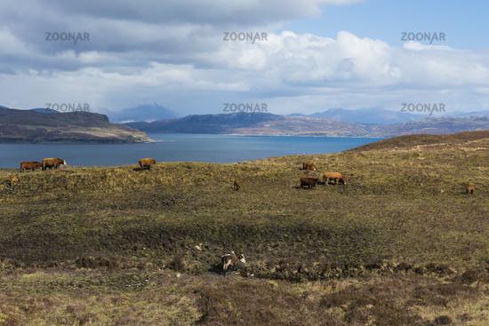 Cows on Isle of Skye