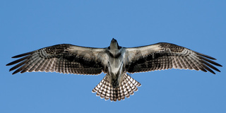 Osprey in Flight XX
