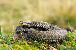 common european crossed viper basking on mountain meadow ( Vipera berus
