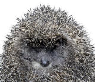 Dreamy Hedgehog cutout