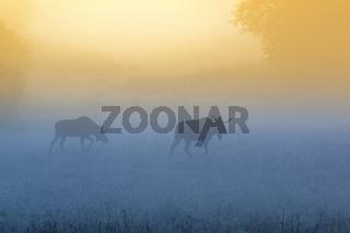 Bull mooses walk on a misty meadow at dawn