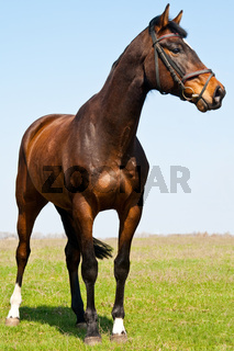 The young stallion on the green meadow