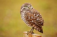 Burrowing Owl sitting on a pole