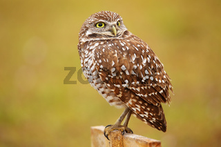 Burrowing Owl sitting on a pole